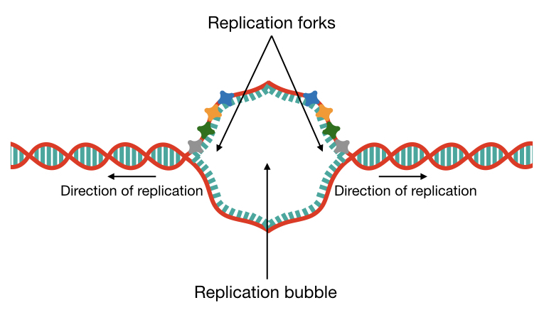 Graphical representation of how the replication bubble formed on the same DNA strand of the linear chromosome.