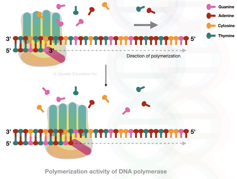 The catalytic process of DNA polymerization by DNA polymerase.