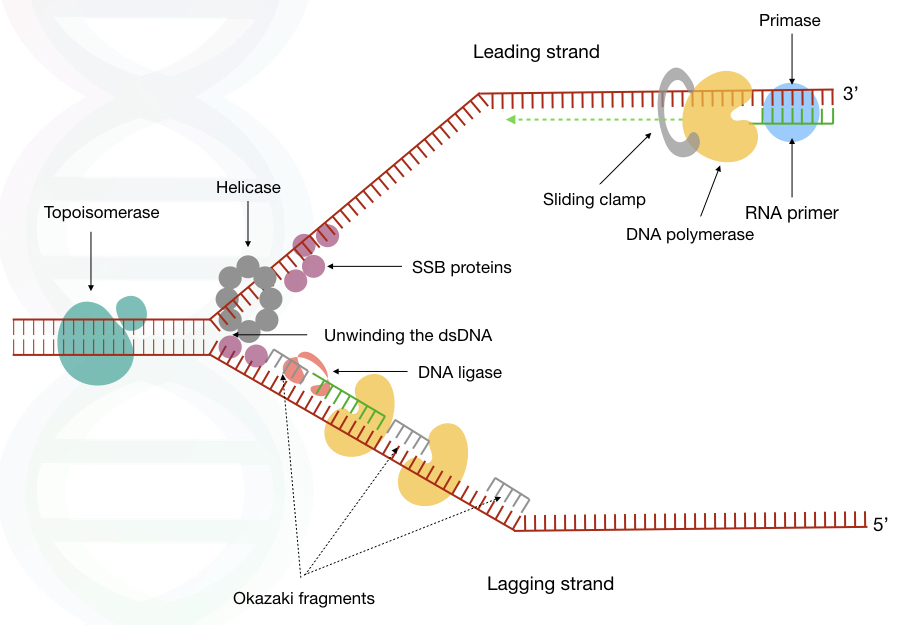 Graphical representation of the whole process of DNA replication.