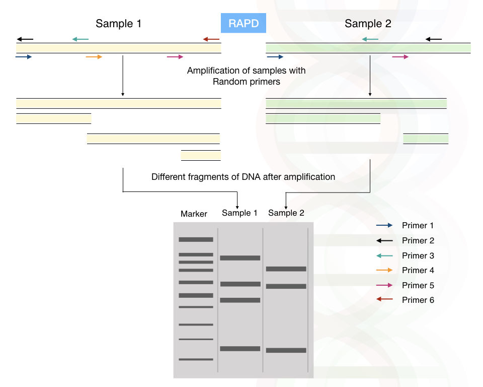 The process of random amplified polymorphic DNA: RAPD