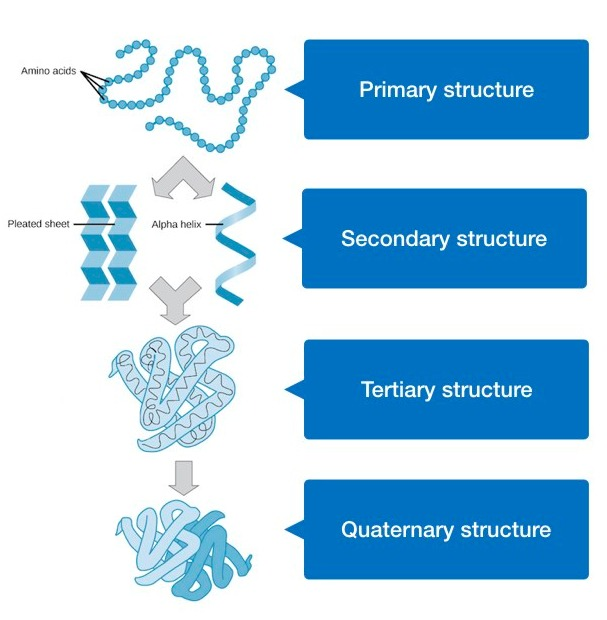 protein structure.004