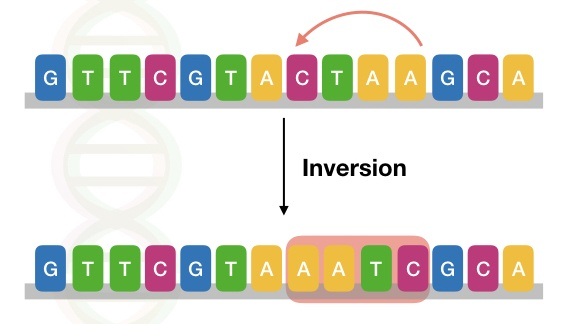 The image shows the type of inversion mutation in a DNA sequence.