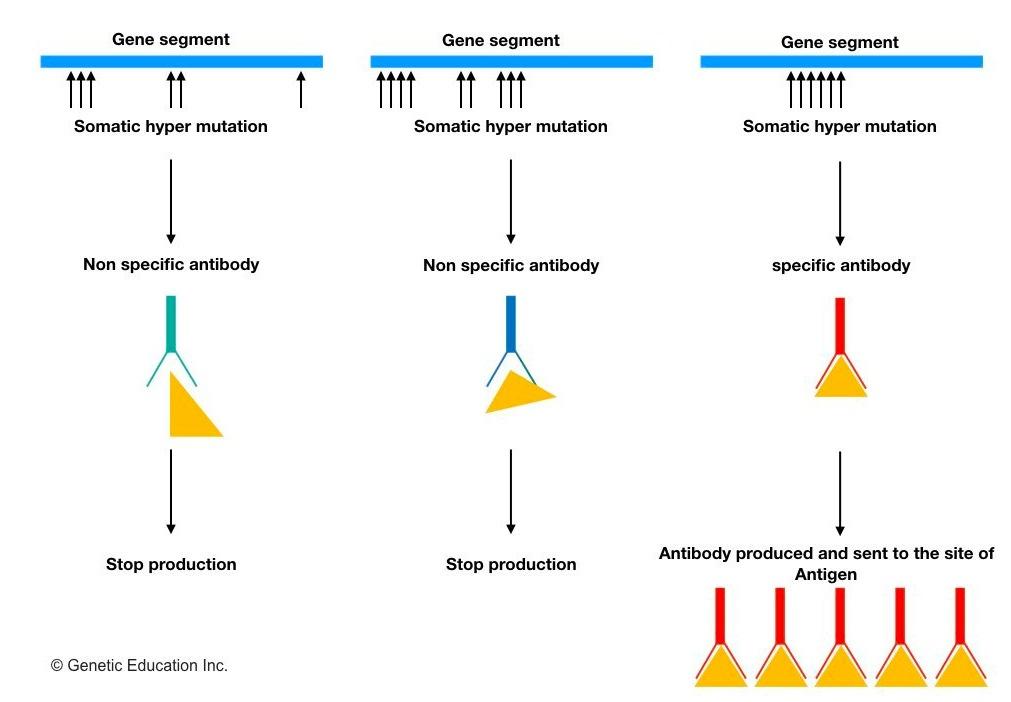 immunogenetics-class2.002.jpeg