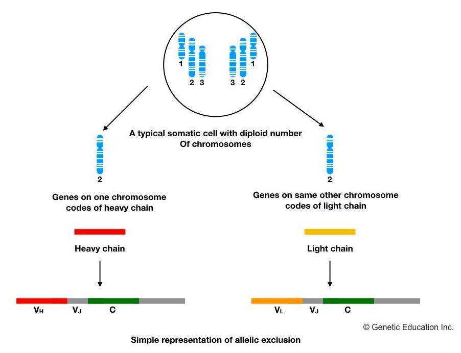 immunogenetics class2.004
