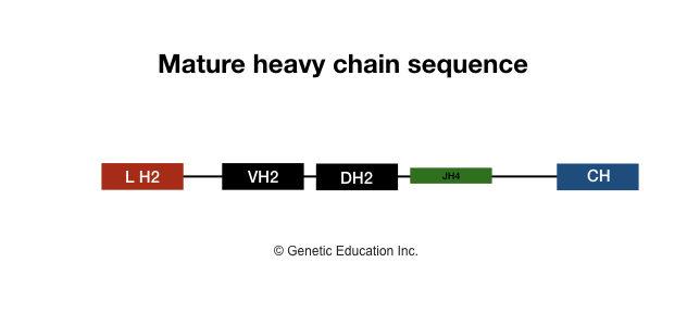 Generation of antibody diversity