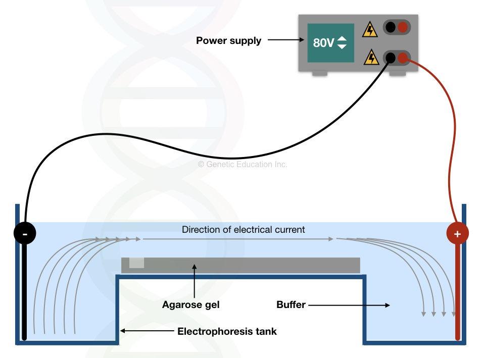 Agarose gel electrophoresis equipment