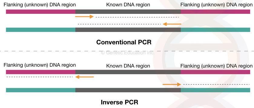 Inverse PCR: Principle, Procedure, Protocol and Applications