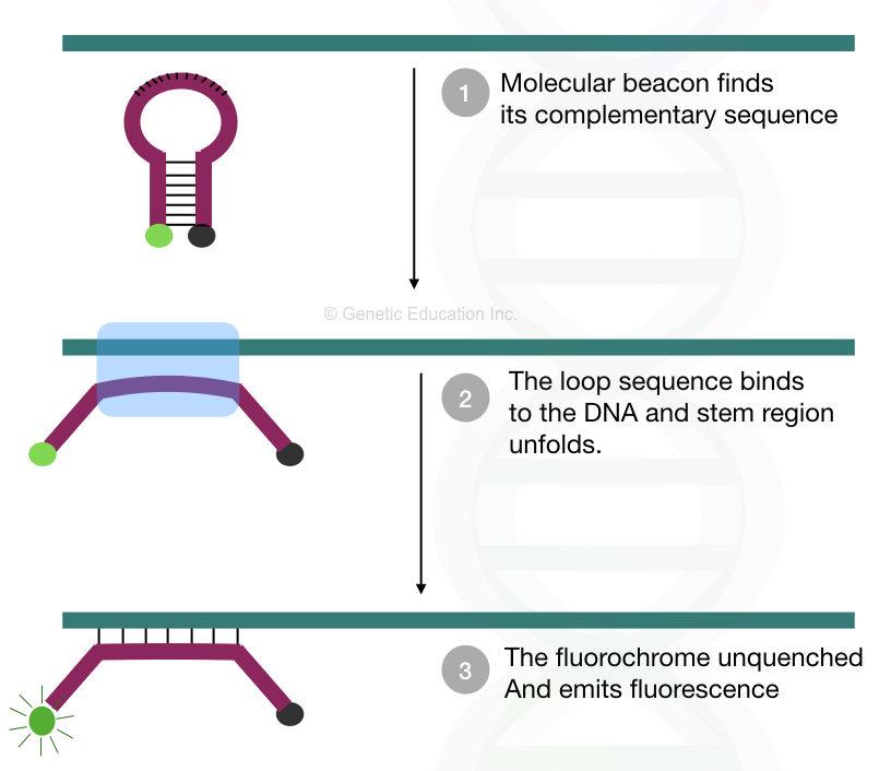 Molecular Beacon: A hairpin that enhances real-time PCR specificity