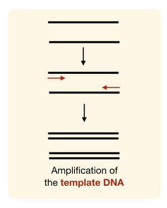 amplification of DNA using the forward DNA reverse primers