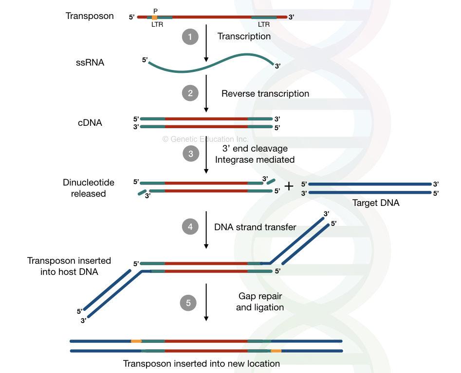 A replicative transposition of retrotransposons via reverse transcription mechanism.