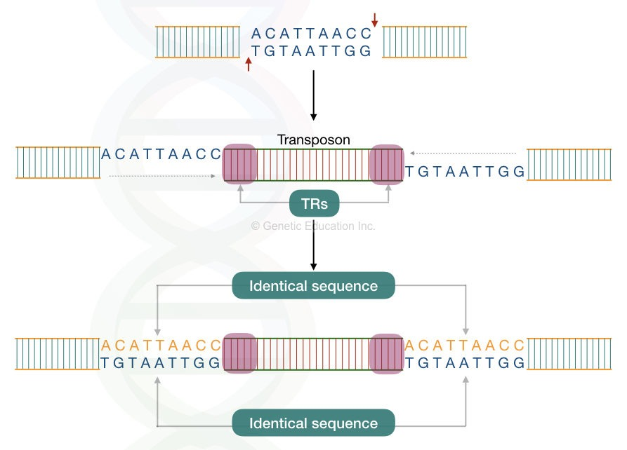 The molecular process of target site duplication occurs in transposons.
