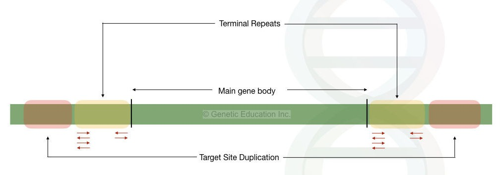 The general structure of a transposon