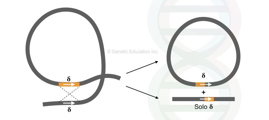 Transposons in eukaryotes