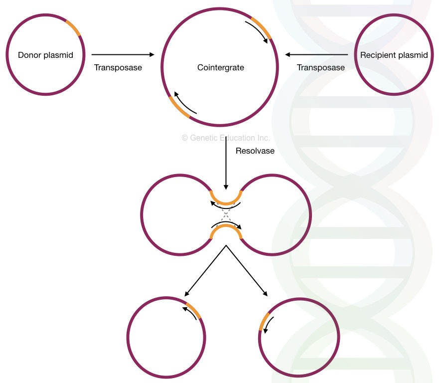 The mechanism of replicative transposition in a plasmid.