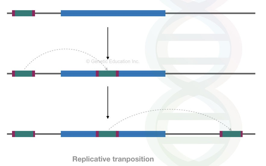 A replicative process of transposition.
