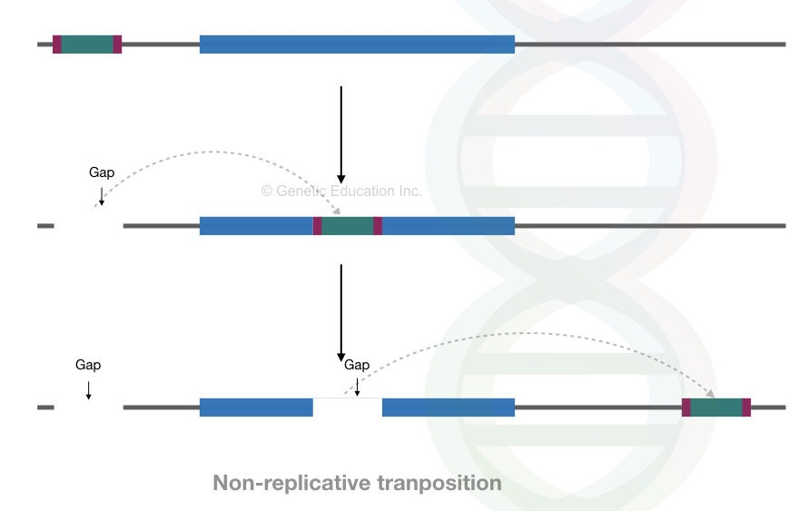 Non-replicative transposition.