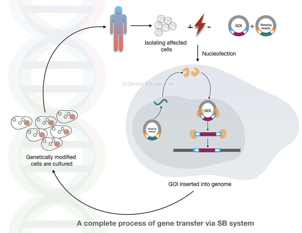 The complete process of sleeping beauty transposons system.