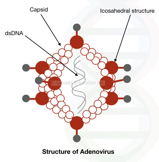 The viral vector mediated gene therapy: the structure of the adenovirus.