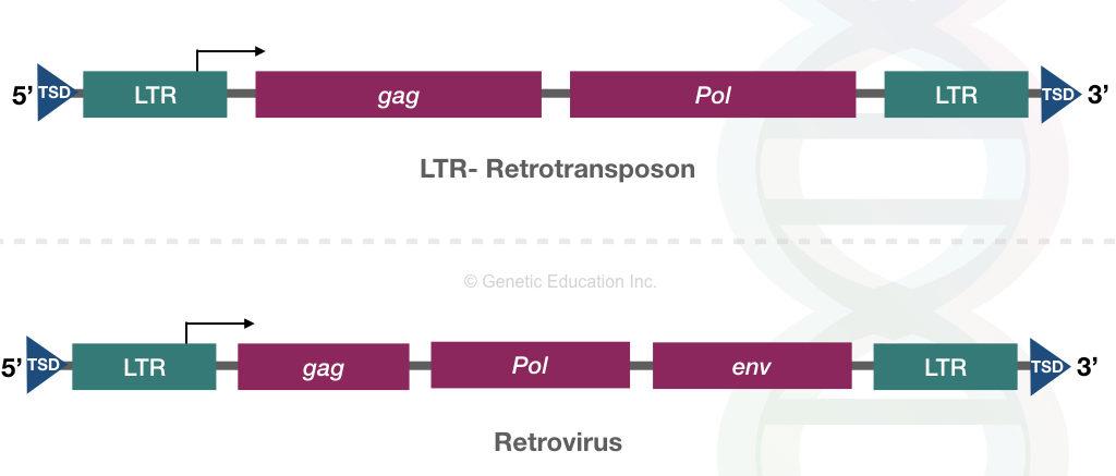 The comparison of genes present on retrotransposon and retrovirus.