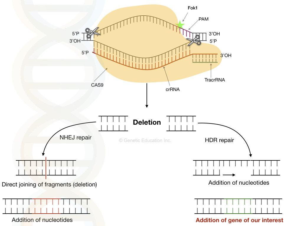 DNA facts: the mechanism of CRISPR-CAS9 gene editing system.