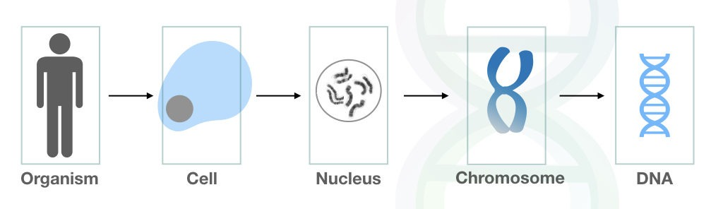 The overview of how DNA arranged in the cell.