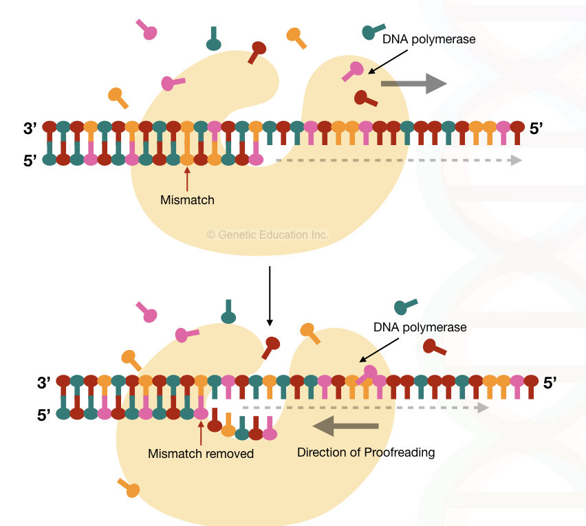The process of proof reading through DNA polymerase
