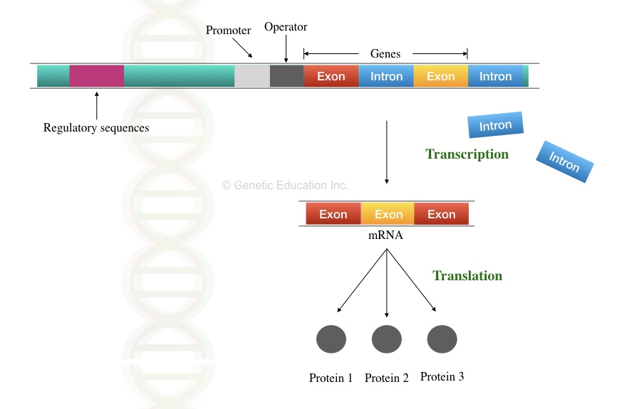 The process of how introns are removed and exons form proteins.