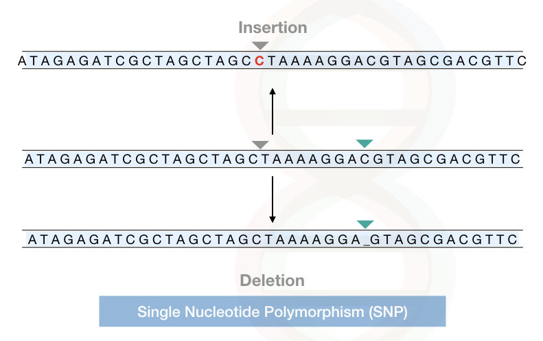 The explanation of single nucleotide polymorphism