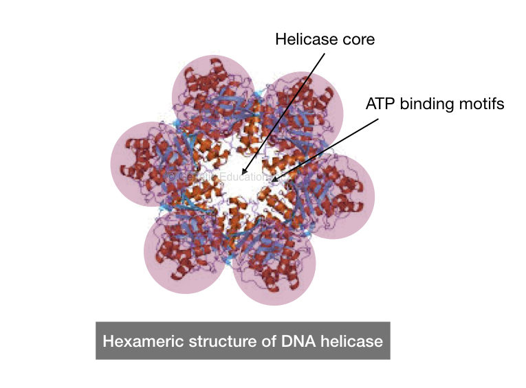 The structure of helicase