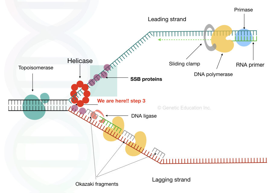 Single stranded binding proteins