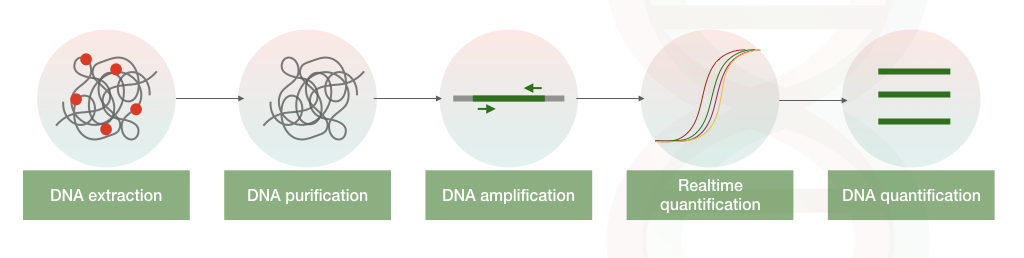 The pictorial illustration of the process of real-time PCR.