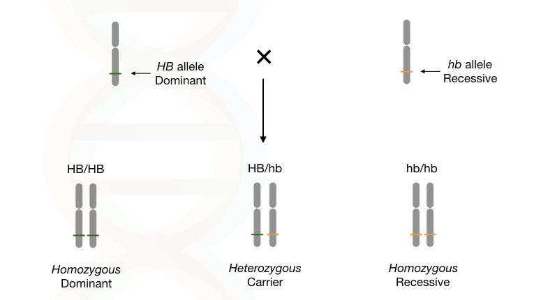 The explanation of homozygous dominant, homozygous recessive and heterozygous.