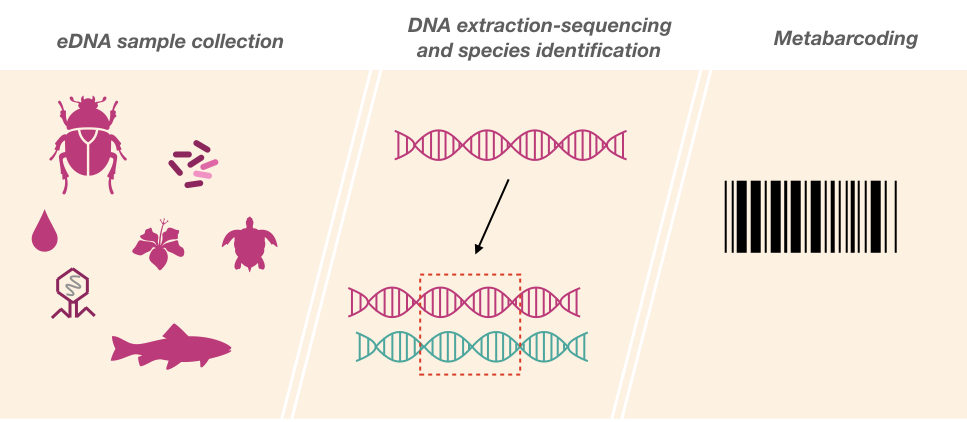 An illustration of metabarcoding using the environmental DNA.