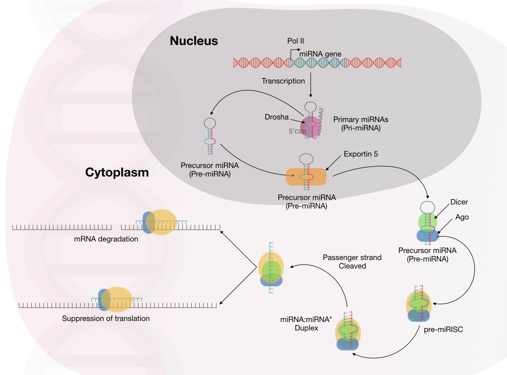 The entire mechanism of miRNA maturation, processing and mRNA degradation.