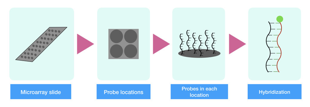The graphical illustration of the microarray chip, probe locations and hybridization.