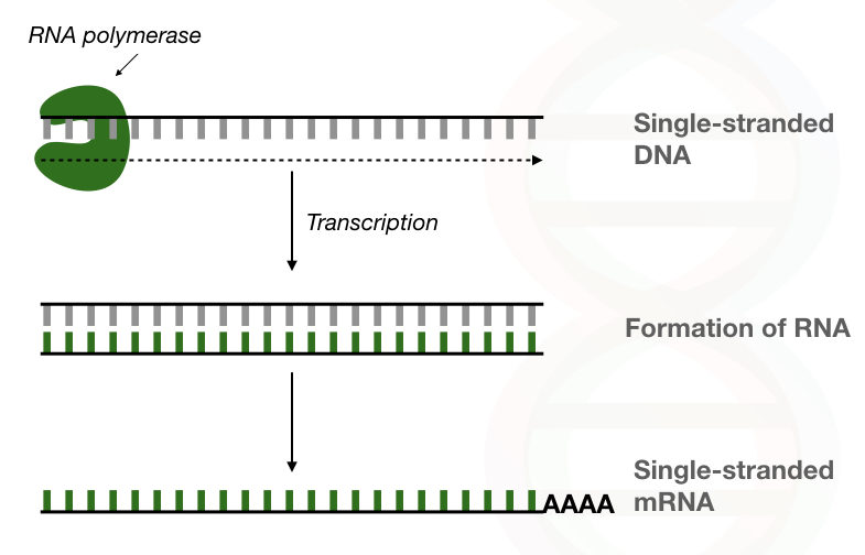Graphical illustration of the process of RNA synthesises using the RNA polymerase without primer.