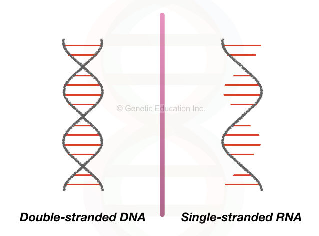 Single-stranded and double-stranded forms of DNA and RNA, respectively.