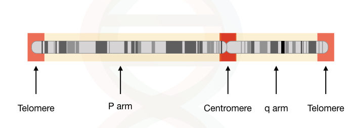 Graphical illustration of a chromosome with telomeres, centromere and arms.