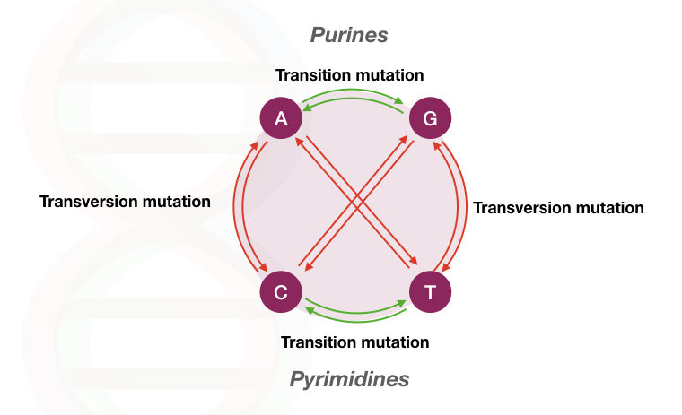 The explanation of transition vs transversion point mutation