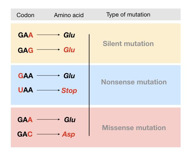 Point mutation examples: silent mutation, nonsense mutation and missense mutation