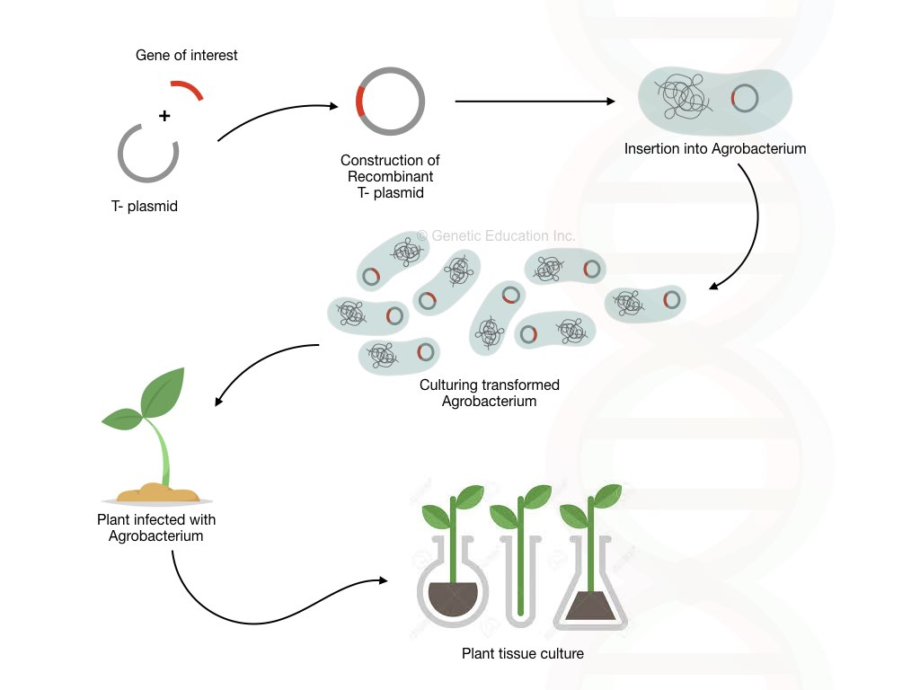 The whole process of genetic engineering.