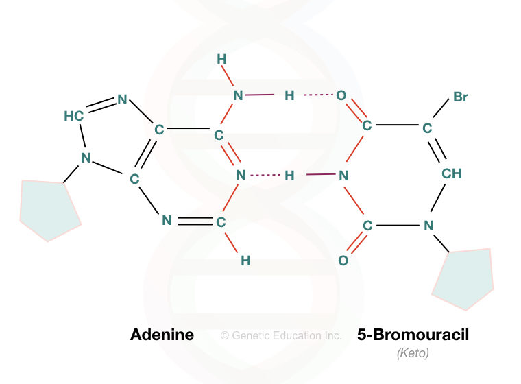 The pairing of adenine and 5-bromouracil.