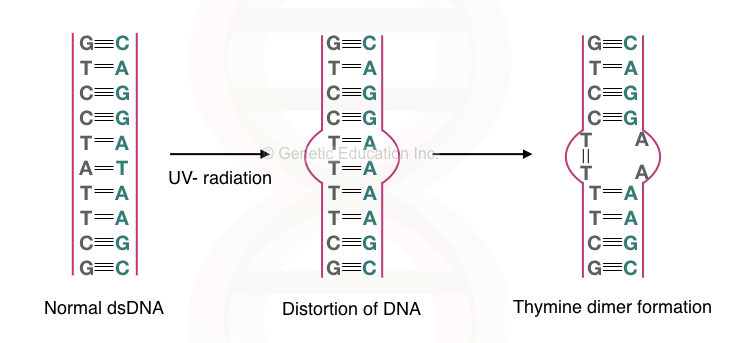 Graphical illustration of the effect of UV- radiation on DNA.