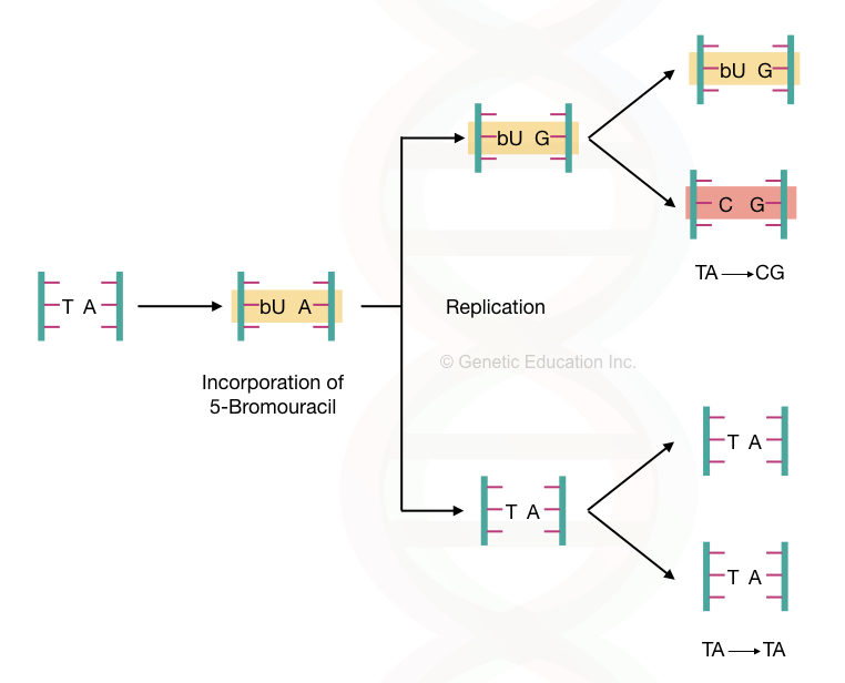 Graphical illustration of the effect of base analog- bromouracil on DNA. The conversation of AT base pair to the CG base pair.