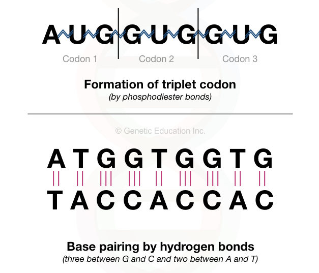 The pictorial illustration of the phosphodiester bonds between the nucleotides of RNA and hydrogen bonds between the two strands of DNA.