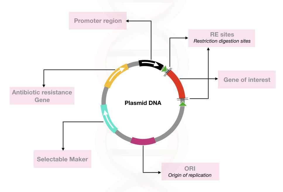 The general structure of the plasmid DNA used in the recombinant DNA technology.
