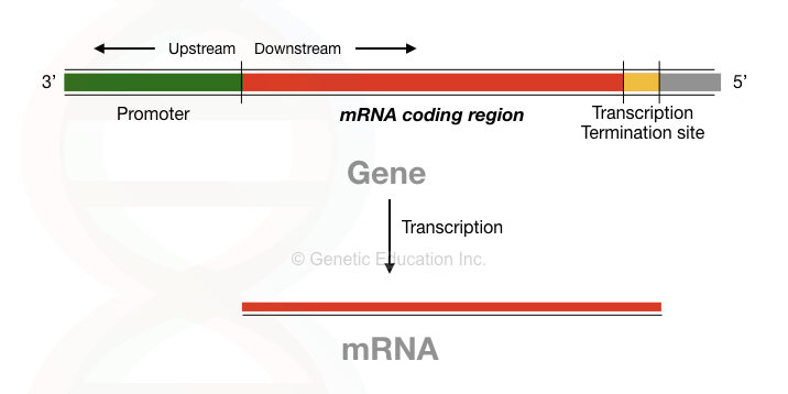 The process of transcription.