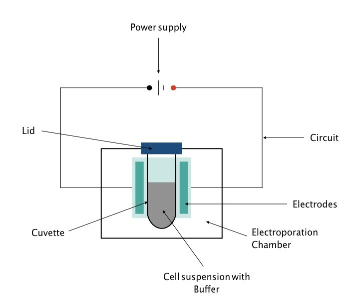 Electroporation A Modern Gene Transfer Technique Electroporation refers to the process by which controlled electric current is used to make the membrane of a cell more permeable. modern gene transfer technique