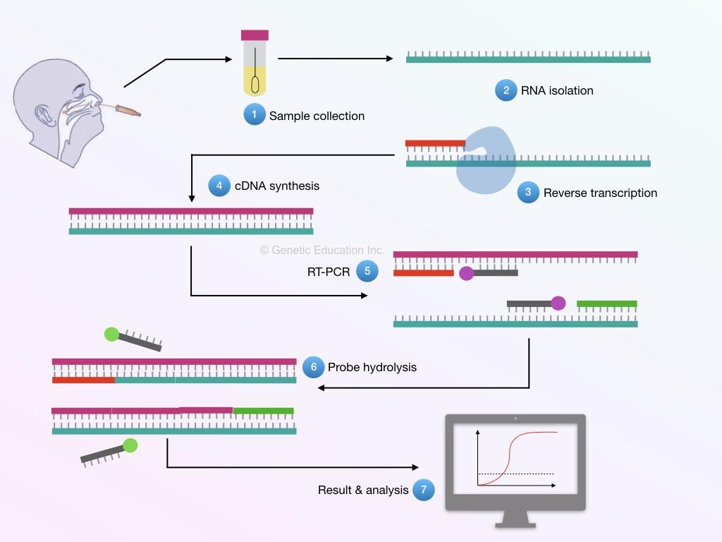 The entire process of the RT-PCR of coronavirus sample.