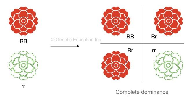 Homozygous vs heterozygous